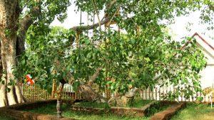 سریلانکا- قدیمی ترین درخت سریلانکا- سفر- سفرنامه- ممکلیا- واقعیت های سریلانکا