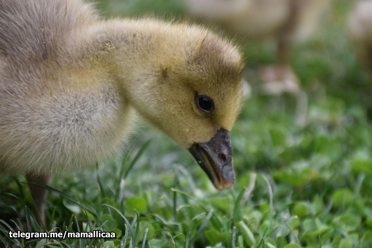جوجه اردک