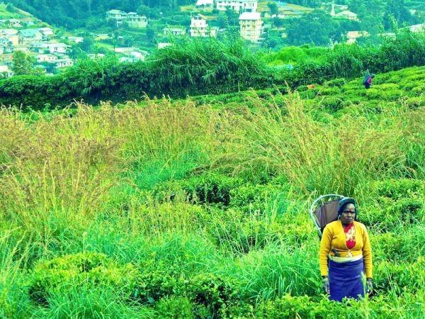 چای- سریلانکا-سفر- مزرعه چای- سفرنامه-تامیل