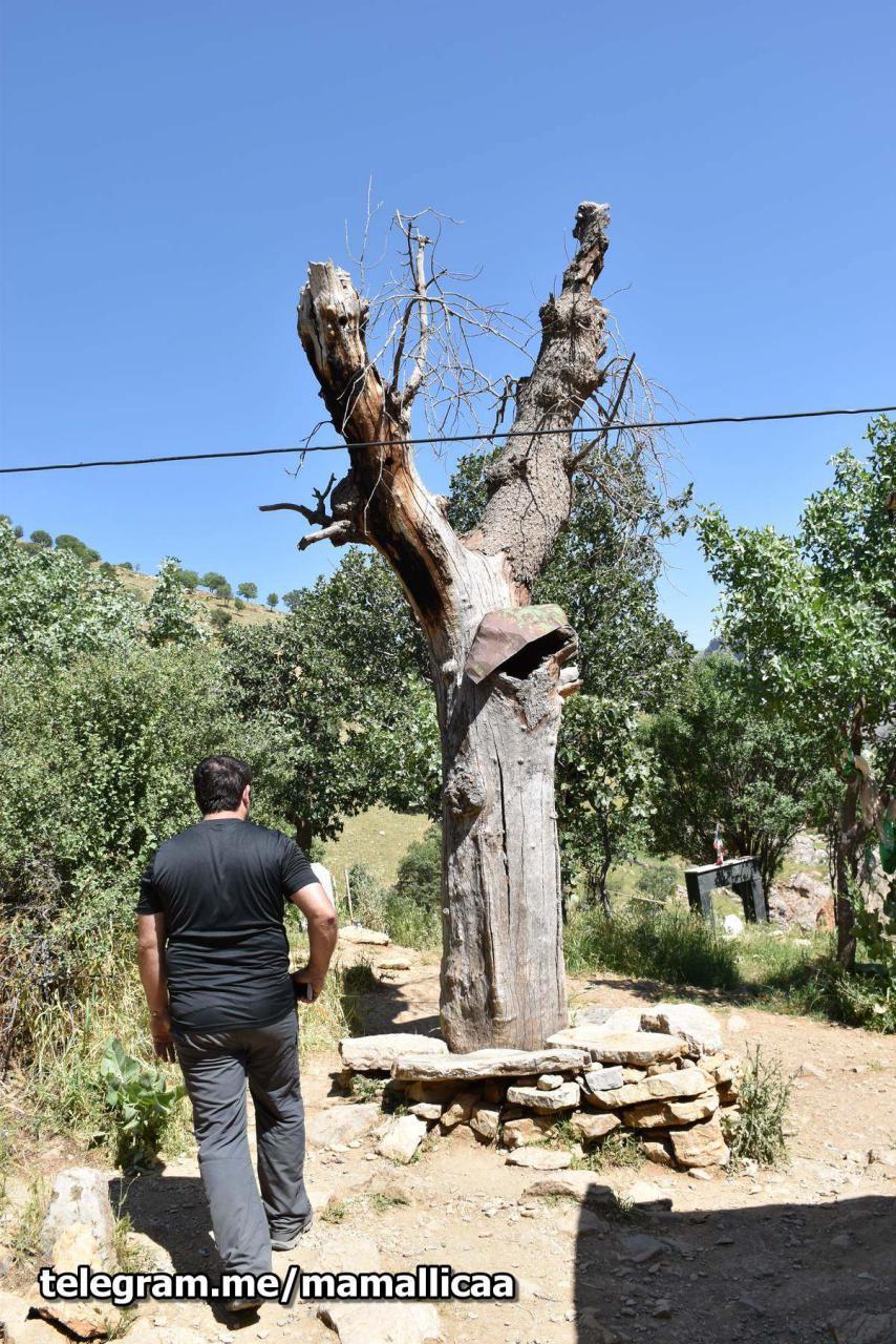 درخت کهنسال اورامان تخت